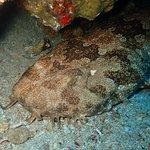 Spotted Wobbegong at Manta Bay!