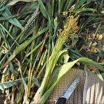Это будущие веники) Их выращивают, срезают, очищают от листвы, сушат, и вяжут