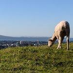 Sheep - One Tree Hill