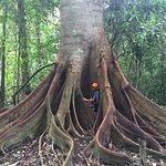 Giant tree in the aquicuana reserve