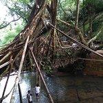 Living Root Bridge, Dawki