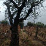 oliveira e vinhedos