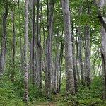 天水越のブナ森:ブナ林