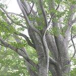 天水越のブナ森:巨大なブナ