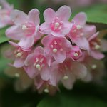 天水越のブナ森:タニウツギ