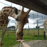 I fell in love with the giraffes.