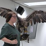 Lecture about raptors with injured eagle