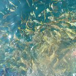 yellowtail snapper frenzy