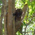 Lemure notturno