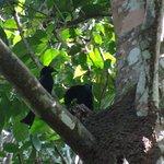 spangled drongo nest