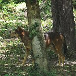 Male Red Wolf