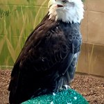 bald eagle at National Eagle Center