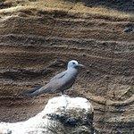 Galapagos Grey Terns