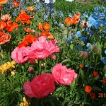 The most amazing poppies!