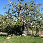 Omues Baum
