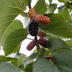 Mulberry supposedly planted by Queen Elizabeth 1