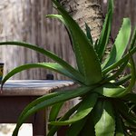 aloe in the planters