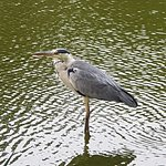 A heron we saw at nearby Penrhos Country Park