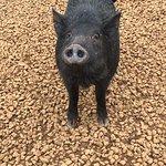 Here piggy piggy.
