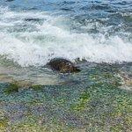 Φωτογραφία: Laniakea Beach