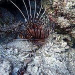 Lion fish at Racha Yai.