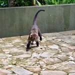 Coati nicknamed Goliath who visits the grounds! Such a beautiful animal!