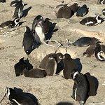 Фотография Boulders Penguin Colony