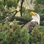 Bald Eagle spotted on tour.
