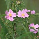 Wild roses at Seney