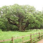 Major Oak set in an Ancient forest Look after and Plant more trees