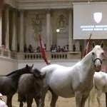Some of the foals in the beautiful Spanish Riding School