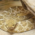 American International Rattlesnake Museum照片