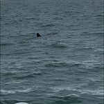 The basking shark was about 8 feet long and rarely seen in the bay