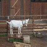 Коза-акробат