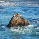 sea lions at Point Dume