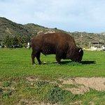 Bison grazing on Catalina Island