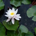 Water lily from the pond