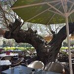 Le bel olivier