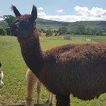 Φωτογραφία: Peppermint Alpacas