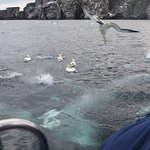 Gannets active