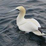 A beauitiful bird is a gannet