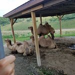 Camels just hanging out