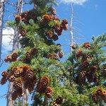 Young sugar pines corns
