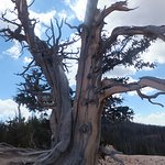 A very old Bristlecone Pine showing its age on its trunk