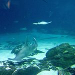 sharks in large tank