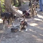 Foto di Alaska Sled Dogs & Musher's Camp