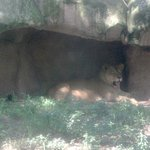Lioness hiding from the sun.