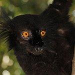 lemure maschio