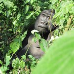 Silverback Mountain Gorillas in Uganda