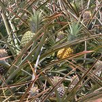 Pineapples in the field